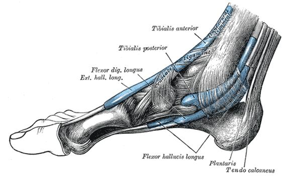 Fußanatomie